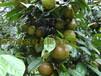 大红花油茶树批发大果红花油茶苗圃藤县巨果油茶种植基地