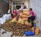红花油茶果?#20302;?#29255;大全平均果重一斤大红花油茶种子果实树苗价格