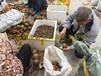 新鲜的大果红花油茶种子批销大红花油茶种子价格