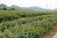 1到3年大果红花油茶实生苗价格基地实拍图片正宗红花油茶树苗价格
