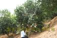 10年大果红花油茶结果树图片红花大果油茶树苗价格油茶苗圃基地实拍