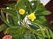金花茶多少钱一斤广西金花茶干花叶子树苗盆栽种子枝条价格批发