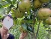 藤县大果红花油茶苗圃联系方式红花大果油茶种植产地批发