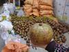 哪里的大果红花油茶好广西大红花油茶苗多少钱一株