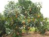 大果红花油茶价格表,嫁接大红花油茶苗,大果红花油茶实生苗