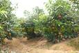 红花大果油茶价格图片-盛花/果实/种子/成年树结果/种植基地照片大全/树苗规格分类价格