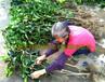 四川大果红花油茶图片四川大果红花油茶树苗价格及规格