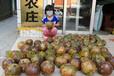 贵州大果红花油茶苗种植贵州大果红花油茶树苗价格及规格图片
