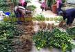 广西藤县巨果红花油茶嫁接苗圃,大果红花油茶嫁接苗价格及品种简介