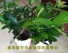 越南抱茎茶花价格越南抱茎红山茶花几年开花越南红抱茎茶花期多久
