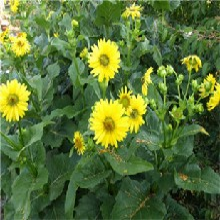金鸡菊种子一般一斤的价格图片