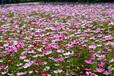 波斯菊种子多少钱一斤