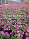 常德青州草花品質優良