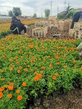 供應青州草花