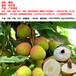 荔枝代收代購產地果蔬代辦合作社妃子笑等品種五月中旬批量上市