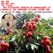 廣東茂名市電白高州荔枝代收代購產地果蔬合作社妃子笑荔枝黑葉荔枝白臘桂味荔枝