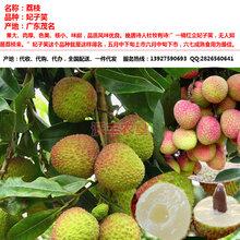 荔枝产地代办、代收代购、优质产地广东电白产区图片