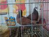 红大鼻子鸽华菱特种养殖技术