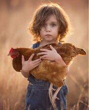 青年蛋鸡料青年鸡的选择