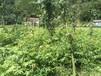 五峰瀚林供应高40-120厘米青钱柳苗