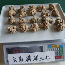 云南文山三七產地種植基地農戶自產自銷可打粉壓三七片圖片