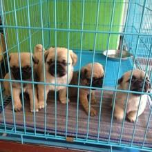 巴哥犬出售純種巴哥幼犬,保證健康純種圖片