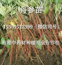 丹參種苗種植一年生藥材種苗圖片
