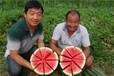 鼎优农业西瓜种子-丽星