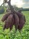 湖北隨州,炎帝老家,山哥尚市紅薯基地,紫薯喜獲豐收