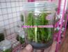 三叉紫花大白芨种苗三叉大白芨紫花大白芨白芨驯化苗种苗