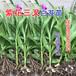 大白芨种苗紫花三叉