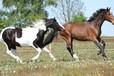 运动马饲料运动马专用饲料