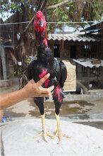 新疆越南鬼子斗鸡打鸡价格