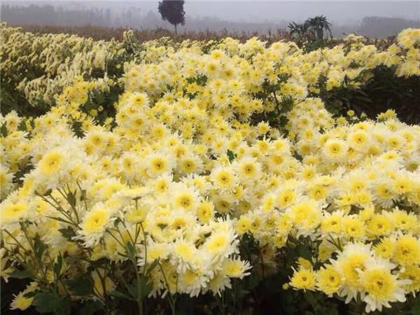 安徽高产抗病害优质新货黄菊种苗,贡菊种苗,杭白菊种苗