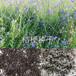 桔梗种子多少钱一斤桔梗种植方法