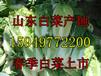 山东白菜产地今日白菜批发价格