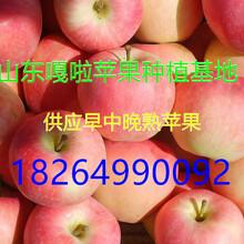 山东嘎啦苹果批发价格果园现摘最新价格图片