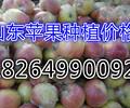 浙江桐乡嘎啦苹果最新市场价格