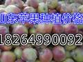 山东嘎啦苹果批发价大量供应嘎啦苹果果园直销图片