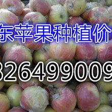 浙江樂清嘎啦蘋果批發基地圖片