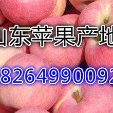 湖南婁底嘎啦蘋果產地價格及批發價格詳情圖片