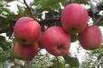 河南新密蘋果批發價格嘎啦蘋果行情蘋果產地供應