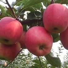 新鄉蘋果批發價格蘋果批發蘋果產地價格圖片