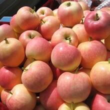 河南平頂蘋果批發價格嘎啦蘋果批發價格蘋果行情分析圖片