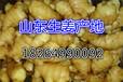 郑州生姜批发价格小黄姜最新市场价格