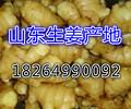 河南平顶生姜批发价格大姜批发市场