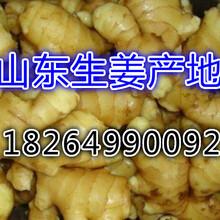 山东生姜大量上市山东生姜批发市场图片