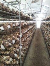 山东青岛平度出口食用菌菌棒香菇菌棒价格图片