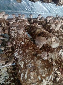 山东青岛出口澳洲新西兰、澳大利亚食用菌菌棒香菇菌棒出口,平菇菌棒,新西兰香菇菌棒