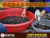 重庆洞庭湖仿野生甲鱼苗价格行情